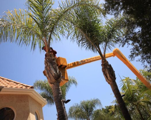 Palm Tree Trimming-Springfield Tree Trimming and Stump Grinding Services-We Offer Tree Trimming Services, Tree Removal, Tree Pruning, Tree Cutting, Residential and Commercial Tree Trimming Services, Storm Damage, Emergency Tree Removal, Land Clearing, Tree Companies, Tree Care Service, Stump Grinding, and we're the Best Tree Trimming Company Near You Guaranteed!