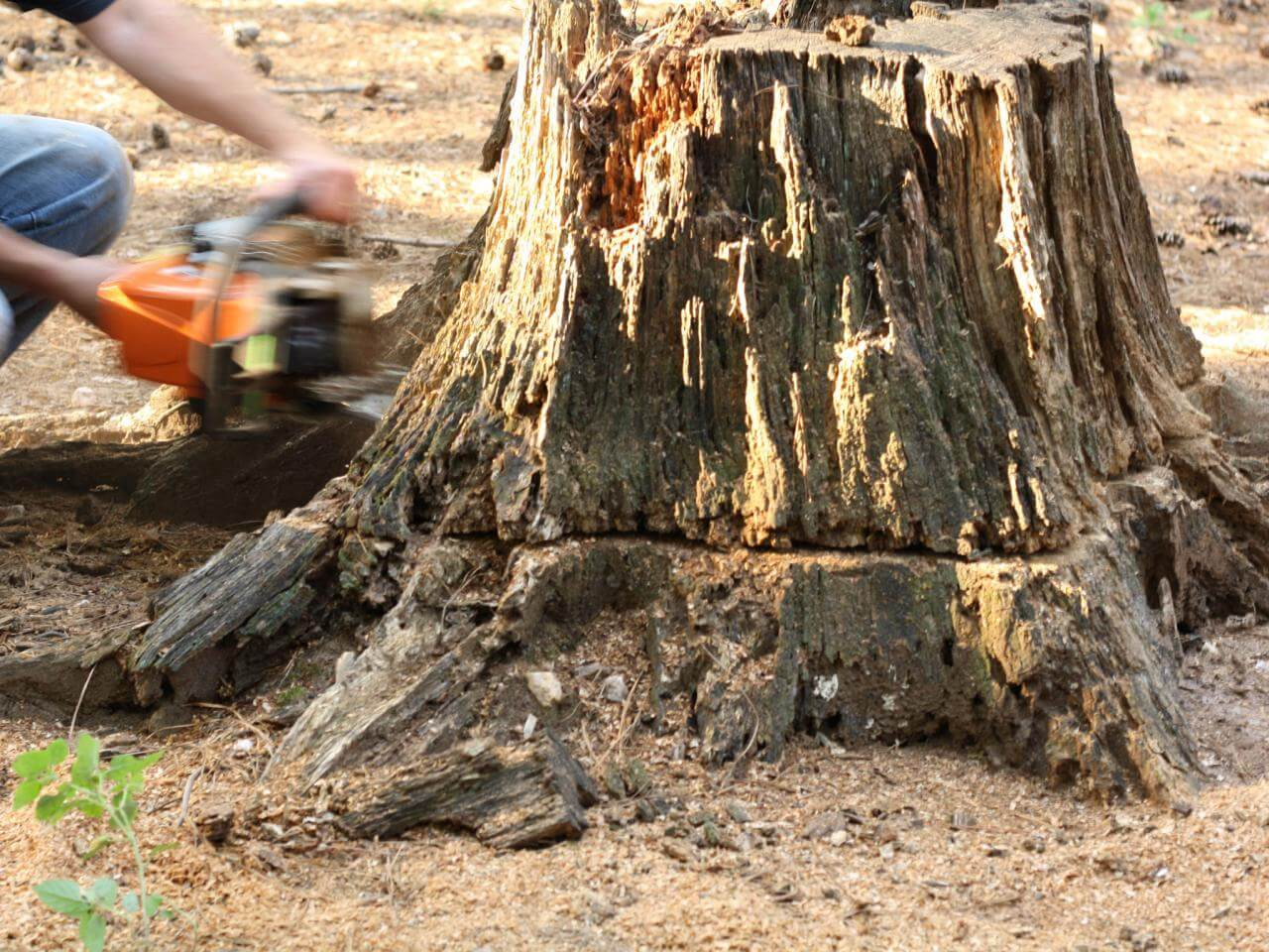 Stump Removal-Springfield Tree Trimming and Stump Grinding Services-We Offer Tree Trimming Services, Tree Removal, Tree Pruning, Tree Cutting, Residential and Commercial Tree Trimming Services, Storm Damage, Emergency Tree Removal, Land Clearing, Tree Companies, Tree Care Service, Stump Grinding, and we're the Best Tree Trimming Company Near You Guaranteed!